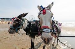 Ezels op het strand van Blackpool, ezelsritten Stock Foto's
