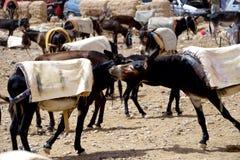 Ezels in souk van de stad van Rissani in Marokko worden geparkeerd dat Royalty-vrije Stock Fotografie