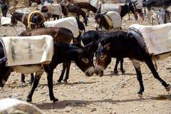 Ezels in souk van de stad van Rissani in Marokko worden geparkeerd dat Royalty-vrije Stock Foto's