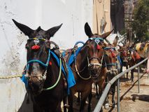 Ezels van Santorini Royalty-vrije Stock Afbeeldingen