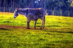 Ezelsfamilie Stock Fotografie