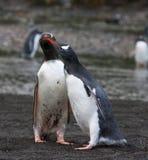 Ezelspinguïn, Gentoo Penguin, Pygoscelis papua royalty free stock photos