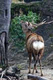 Ezo Sika Deer royalty free stock image