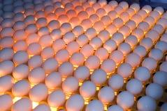 Fábrica del huevo - control de calidad mirando al trasluz Imagen de archivo