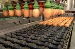 Fábrica do ovo em selecionar o processo e em classificar a linha de produção imagem de stock royalty free