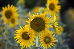 Fält av solrosor är nu en allmänning royaltyfri fotografi