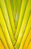 Fã da banana do detalhe da textura e do teste padrão Fotos de Stock