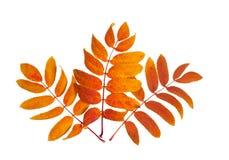 Fã de três folhas outonais da cinza Fotos de Stock Royalty Free
