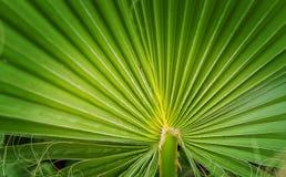 Fã verde em folha de palmeira médio Imagem de Stock Royalty Free