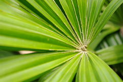 Fächerförmiges Blatt des tropischen Baums Stockfotos