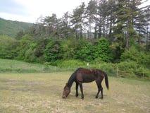 Fäkta den casei fullblods- hästen för de medan skrubbsåret gräset Royaltyfri Foto