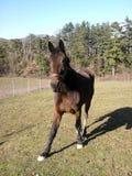 Fäkta den casei fullblods- hästen för de medan skrubbsåret gräset Royaltyfri Bild