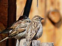 fäkta sparrows tre Royaltyfri Fotografi