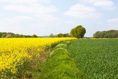 Fäll ned Normandie/Frankrike: Göra grön och gulna fält med rapsfröt i blom- och barnveteväxter i den franska räkningen royaltyfri foto
