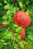 Fällige Granatapfelfrüchte stockfoto