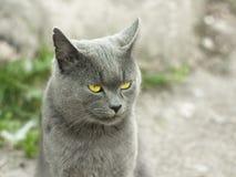 Fällige graue britische Katze draußen Stockfotografie