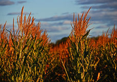 Fällige Maispflanzen am Sonnenuntergang Stockfotos