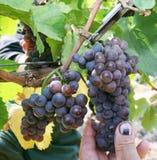Fällige Traube für ausgezeichneten Noirwein Stockfoto