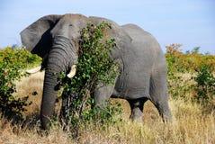 Fälliger afrikanischer Elefant Lizenzfreies Stockbild