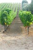 Fälliger Apfel aus den Grund in einem Apfelbaumgarten Lizenzfreie Stockfotografie