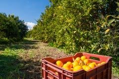 Fälliger Apfel aus den Grund in einem Apfelbaumgarten Lizenzfreie Stockbilder