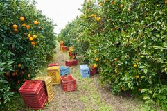 Fälliger Apfel aus den Grund in einem Apfelbaumgarten Stockbild