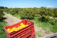 Fälliger Apfel aus den Grund in einem Apfelbaumgarten Stockbilder