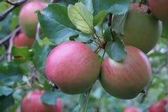 Fälliger Apfel aus den Grund in einem Apfelbaumgarten Lizenzfreie Stockfotos