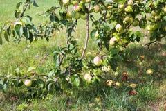 Fälliger Apfel aus den Grund in einem Apfelbaumgarten Appletree im Garten stockfotos