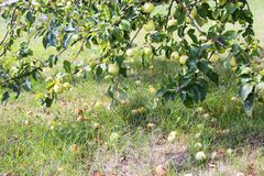Fälliger Apfel aus den Grund in einem Apfelbaumgarten Appletree im Garten stockbilder
