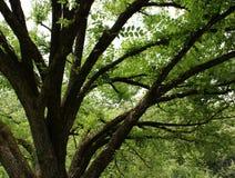 Fälliger Eichenbaum stockbilder