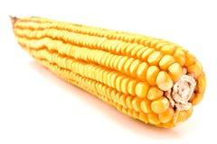 Fälliger Maiskolben lizenzfreie stockbilder