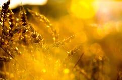 Fälliger Weizen lizenzfreie stockfotos