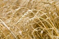 Fälliger Weizen lizenzfreies stockfoto