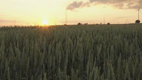 fält över solnedgångvete stock video