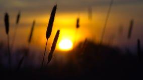 Fält av öron på solnedgång arkivfilmer