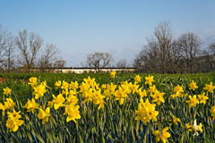 Fält av att blomma för påskliljor Royaltyfria Bilder