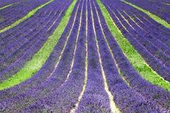 Fält av att blomma Lavande Arkivbild