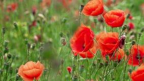 Fält av att blomma och att dansa i vindvallmo, vallmofält ProRes 4 2 2 10bit arkivfilmer