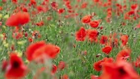 Fält av att blomma och att dansa i vindvallmo, vallmofält ProRes 4 2 2 10bit lager videofilmer