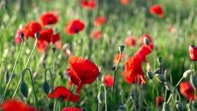 Fält av att blomma och att dansa i vindvallmo, vallmofält ProRes 4 2 2 10bit stock video