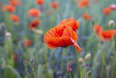 Fält av att blomma röda vallmo, makro Royaltyfri Fotografi