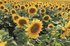 Fält av att blomstra solrosor i varm klar dag Arkivbild