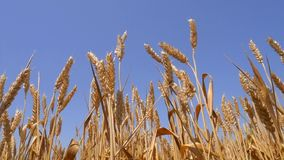 Fält av att svänga guld- vete och blå himmel Slowmotion bakgrund för HD stock video
