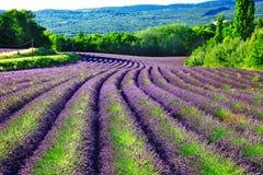 Fält av blloming lavander i Provence Arkivbilder