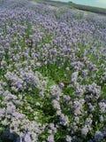 Fält av blom Arkivbilder