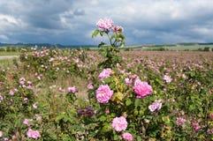 Fält av blommande crimean rosa Rosa damascena, rosa buskecloseup Royaltyfria Bilder