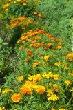 Fält av blommande ringblommor Arkivfoton