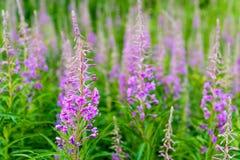 Fält av blommande sallyblommor Purpur alpin Fireweed Royaltyfri Bild