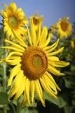 Fält av blommande solrosor arkivbild